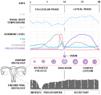How your menstrual cycle affects your cholesterol levels